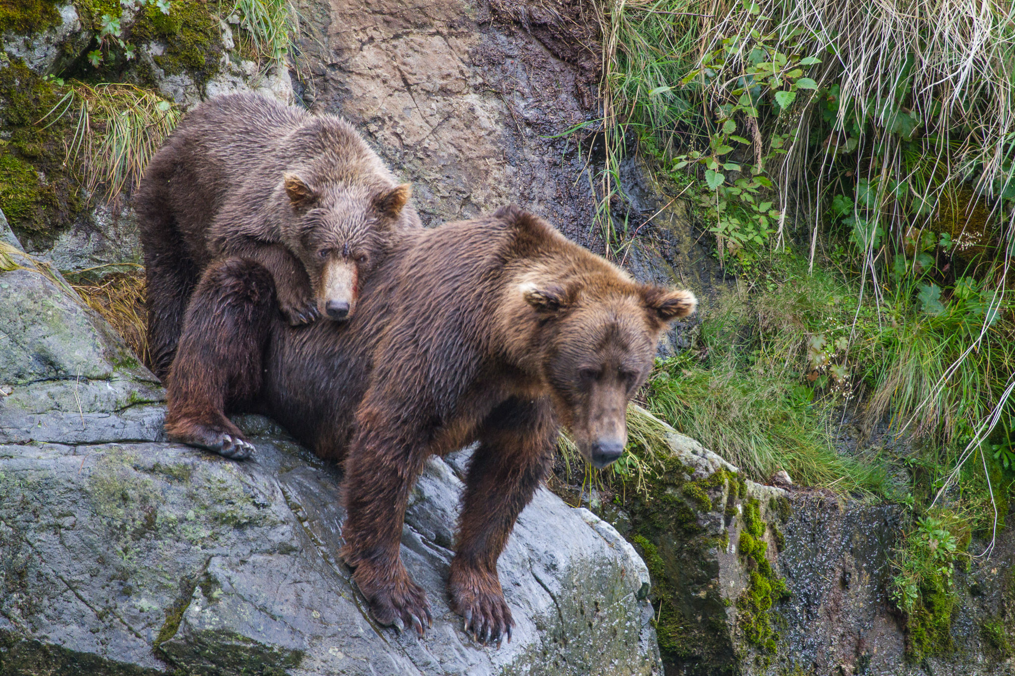 20100814_Brown_Bear_7201.jpg