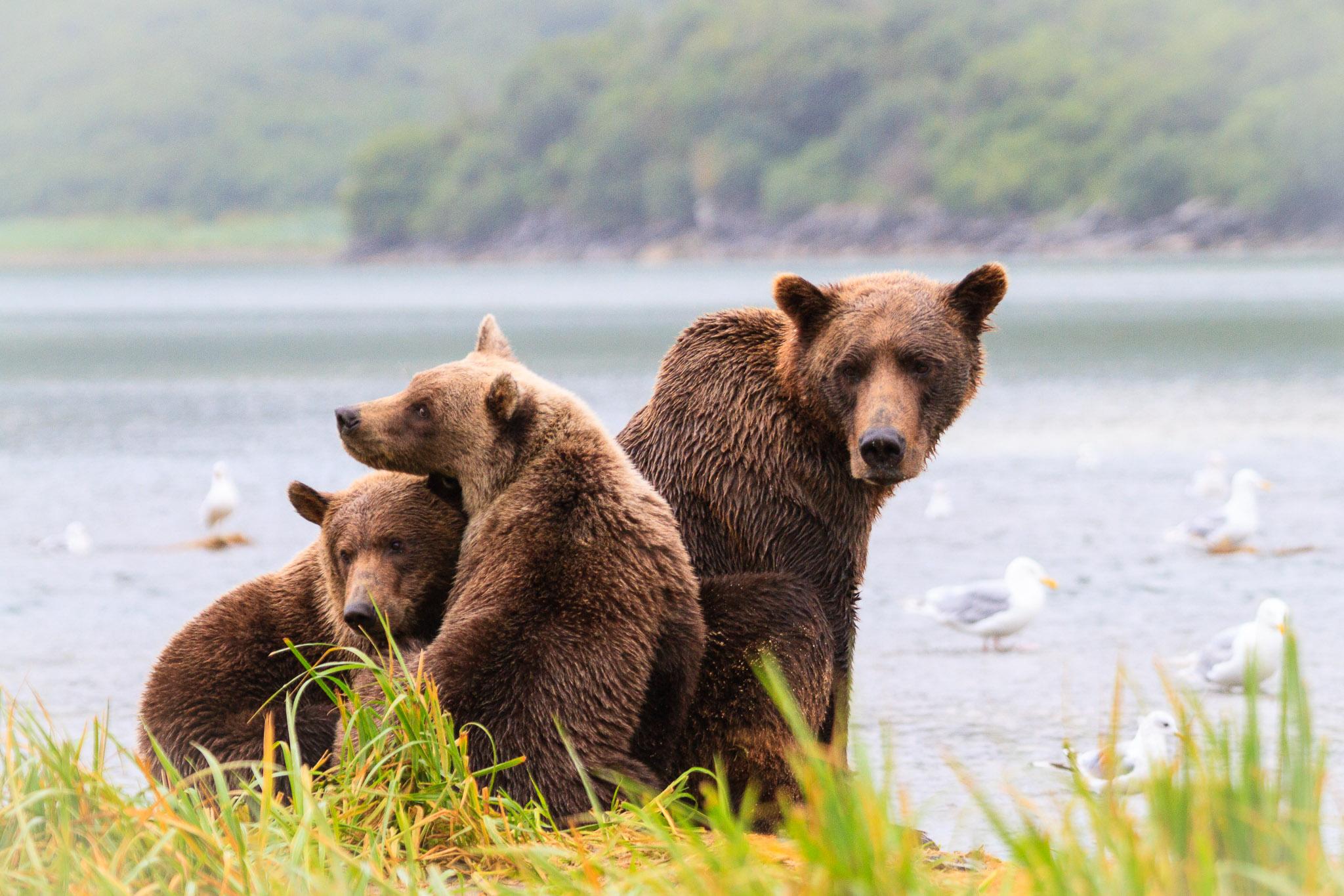 20100816_Brown_Bear_7957.jpg