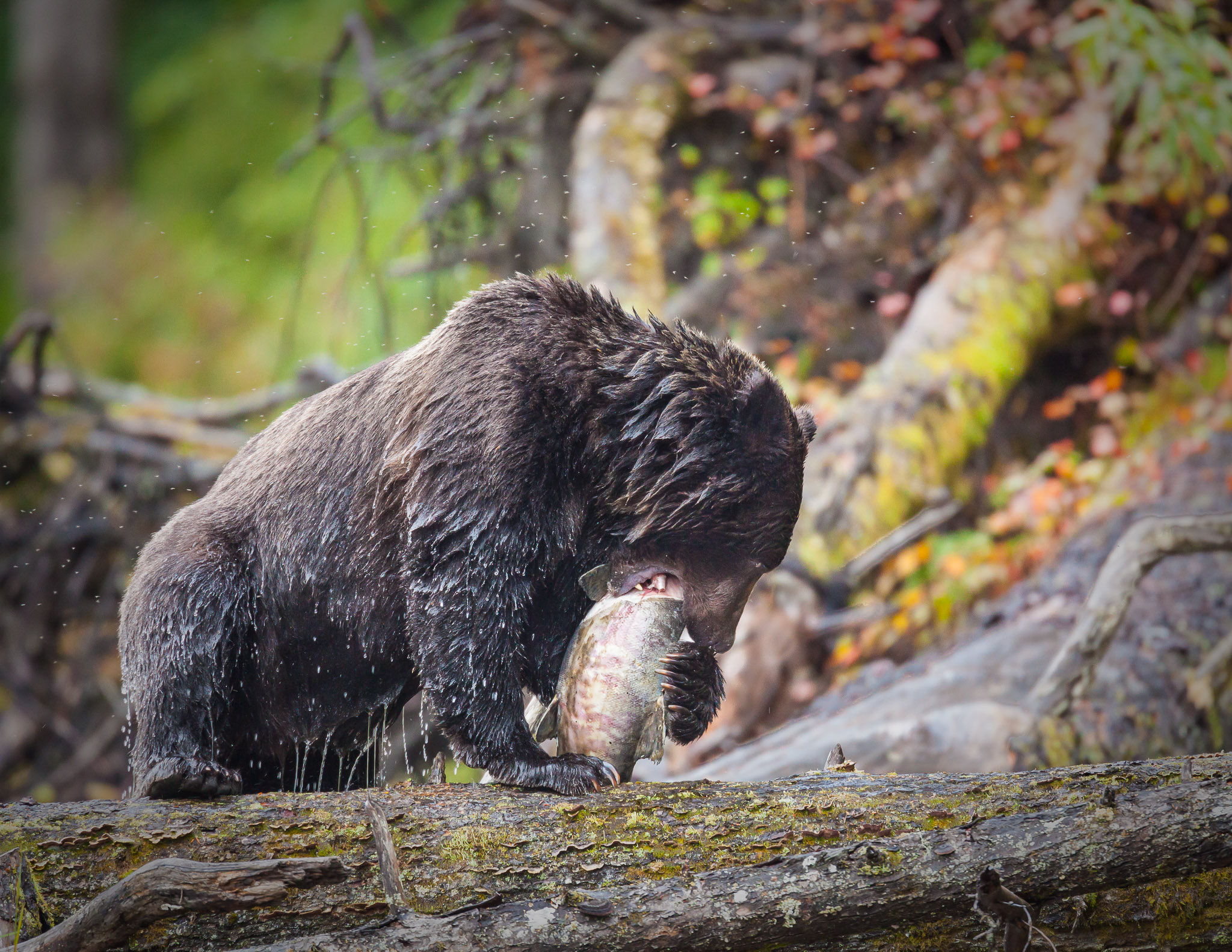 Grizzly-Bear-IMG_9613-95.jpg