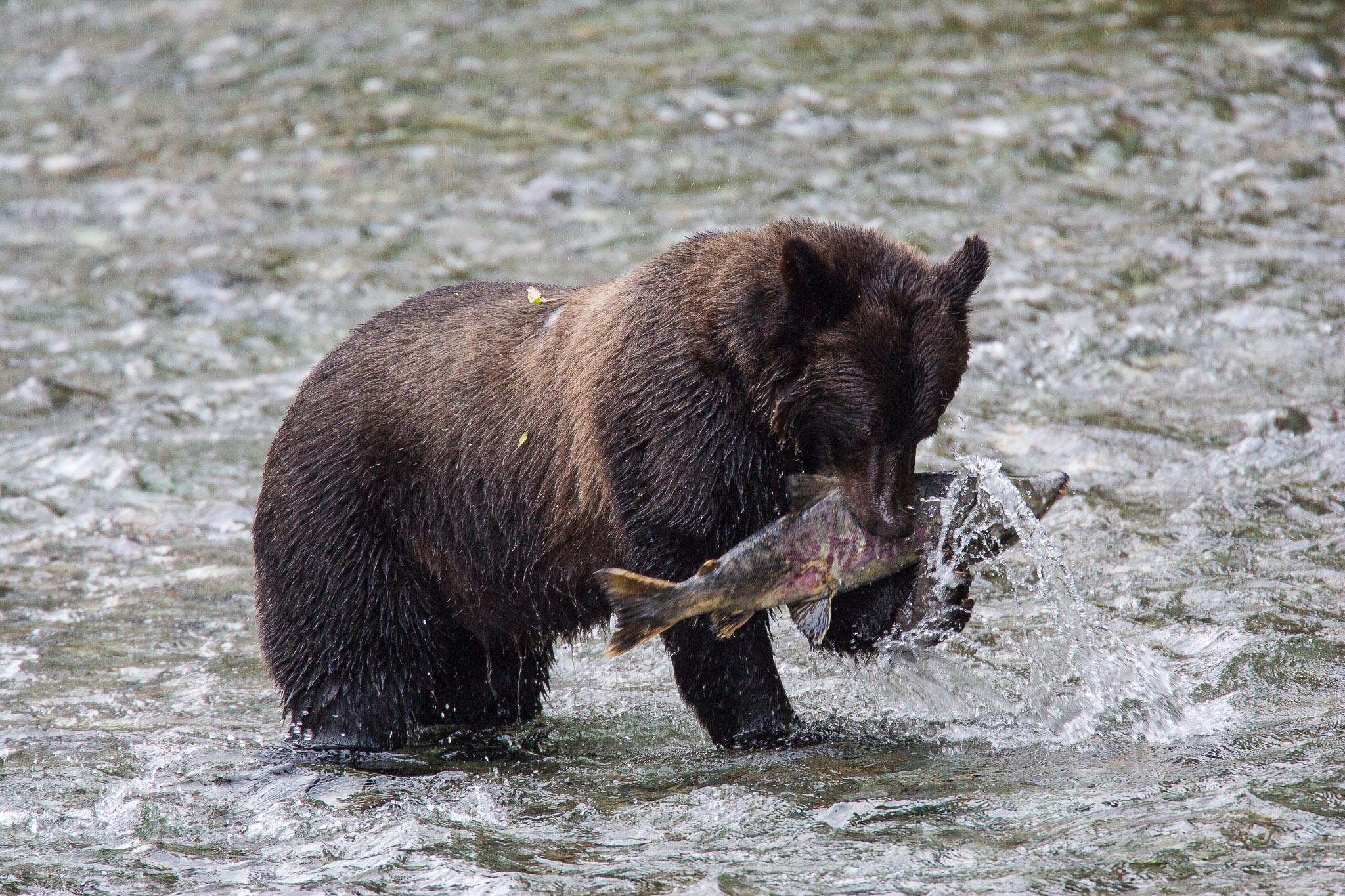 Grizzly-Bear_IH0Y5815.jpg
