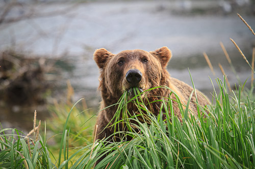 20100812_Brown_Bear_6098.jpg