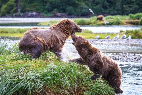20100812_Brown_Bear_6146.jpg