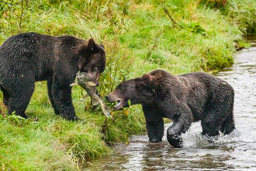 Grizzly-Bear-739R4650.jpg