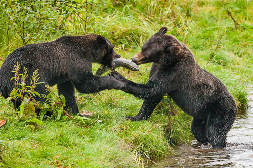 Grizzly-Bear-739R4662.jpg
