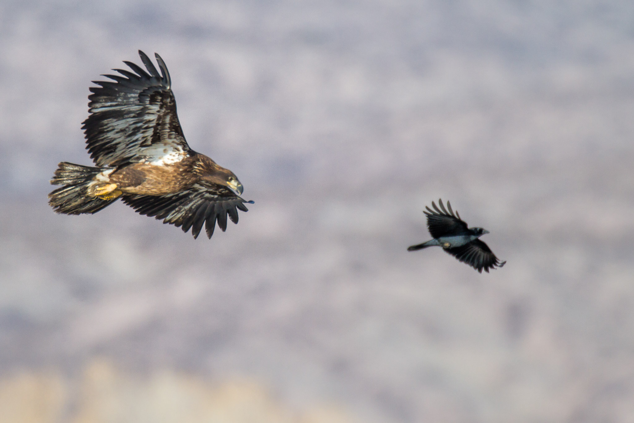 20120207_eagle_7710.jpg