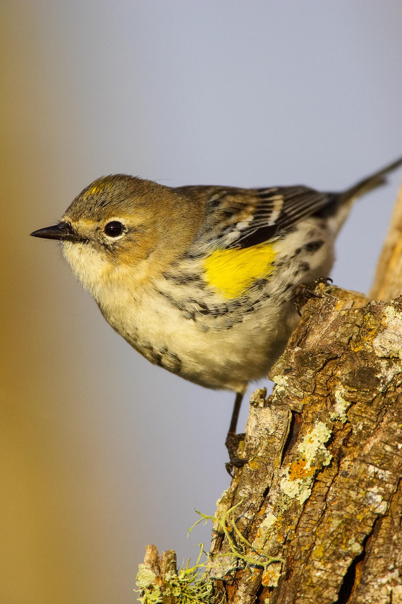 Yellow-rumped-Warbler_IH0Y2668.jpg