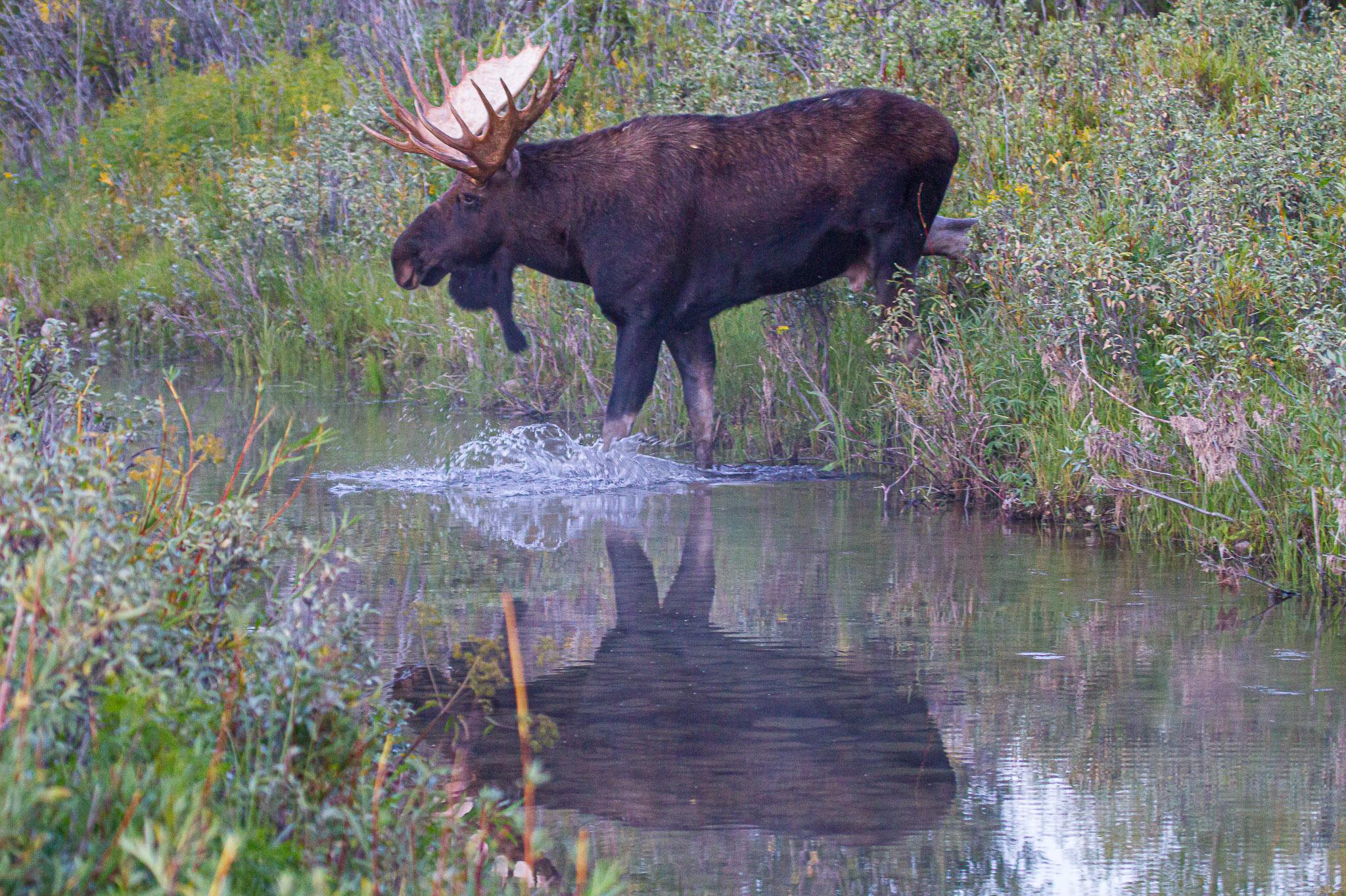 20110916_moose_5728.jpg
